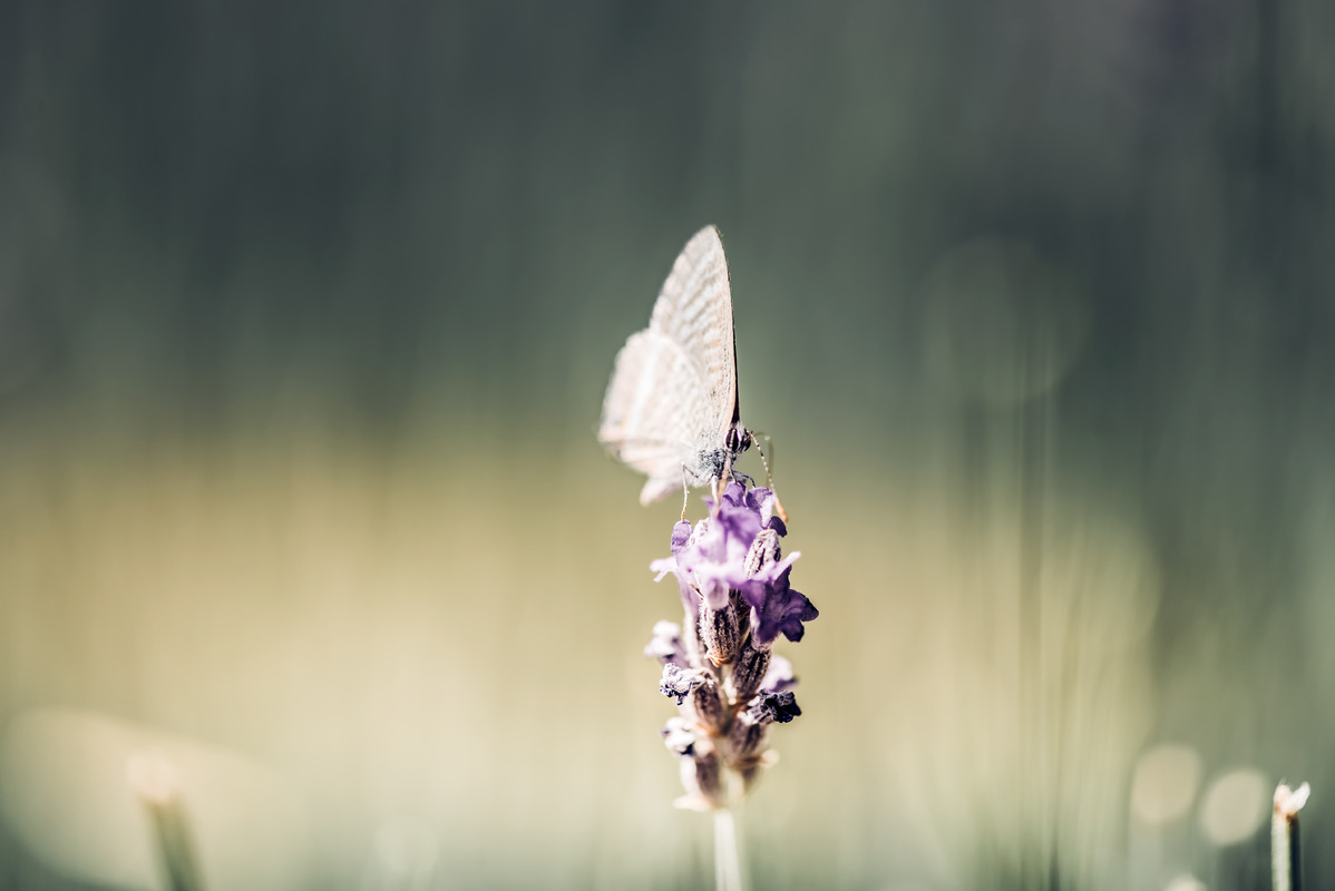 Butterfly on lavender - slon.pics - free stock photos and illustrations
