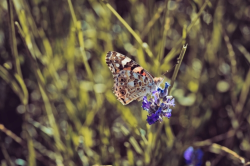 Butterfly perching on lavender spike in lawn - slon.pics - free stock photos and illustrations