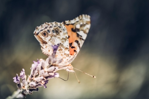 Close-up of butterfly on the purple lavender flower - slon.pics - free stock photos and illustrations