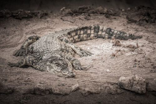 Crocodile basking in the sun - slon.pics - free stock photos and illustrations