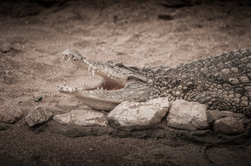 Crocodiles resting with open jaws - slon.pics - free stock photos and illustrations