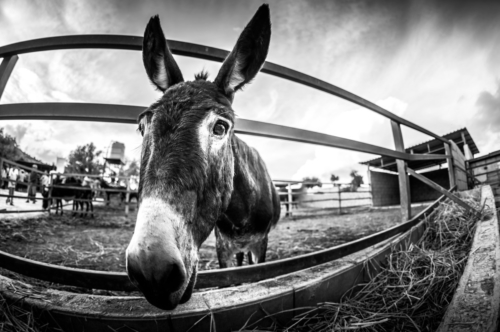 Donkey hang by a farm fence - slon.pics - free stock photos and illustrations