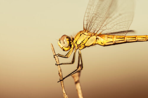 Dragonfly - slon.pics - free stock photos and illustrations