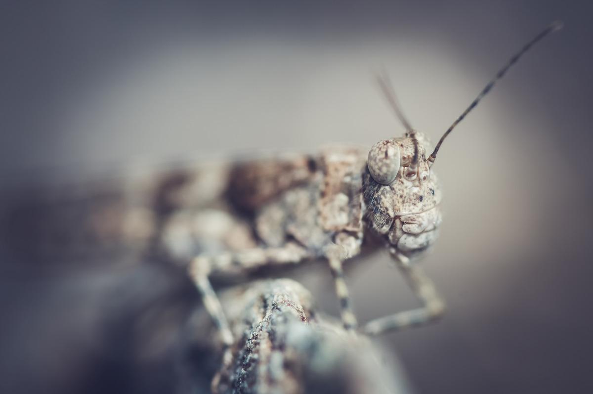 Grasshopper portrait - slon.pics - free stock photos and illustrations