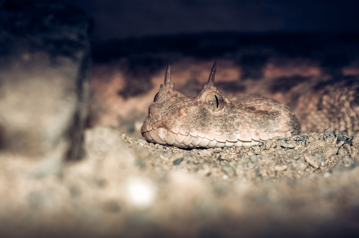 Horned Viper portrait - slon.pics - free stock photos and illustrations