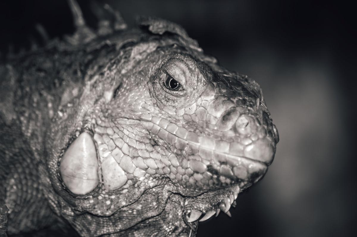 Iguana. Close-up portrait - slon.pics - free stock photos and illustrations