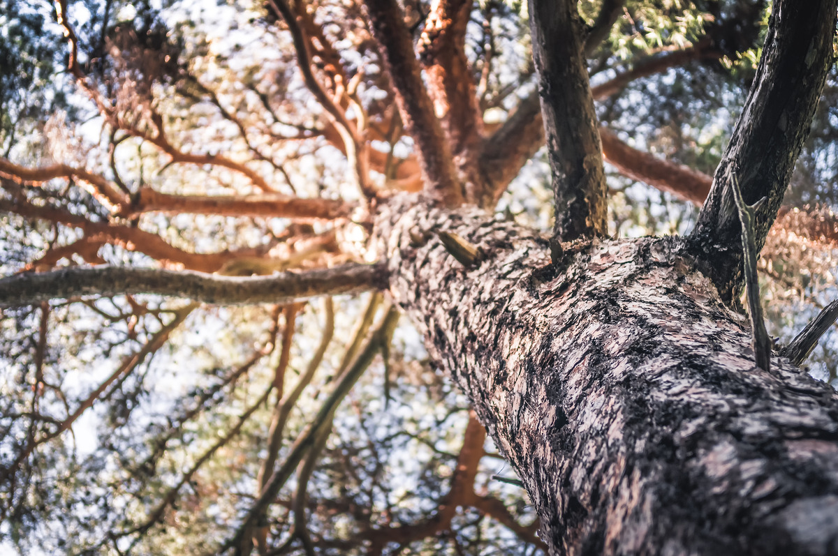 Pine tree trunk with bark closeup - slon.pics - free stock photos and illustrations