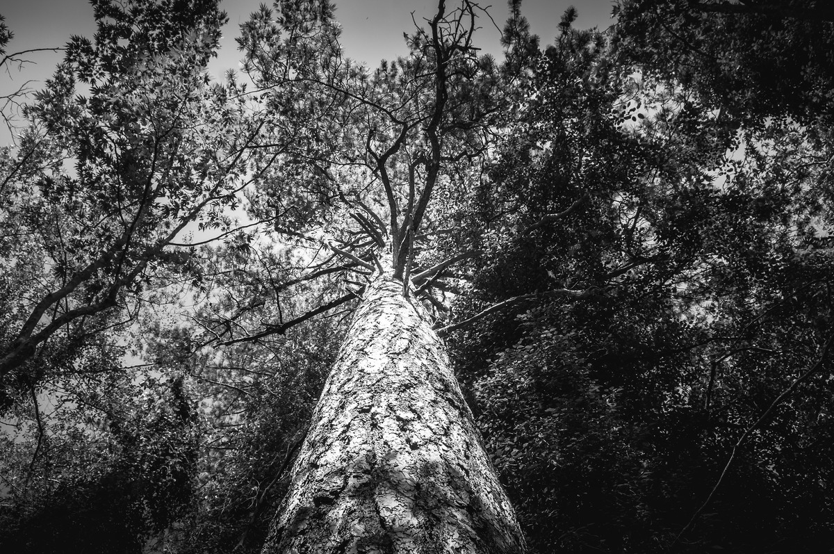 Pine. Black and white - slon.pics - free stock photos and illustrations