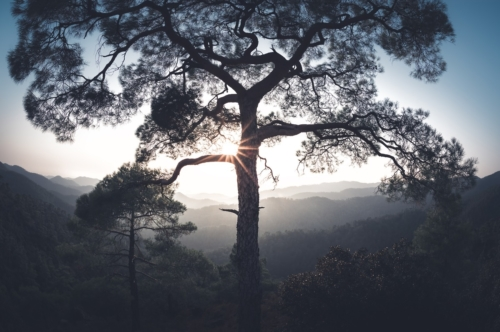 Sun shining through the pine. Troodos mountains, Cyprus - slon.pics - free stock photos and illustrations