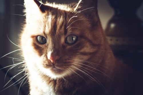 Thoughtful cat - slon.pics - free stock photos and illustrations