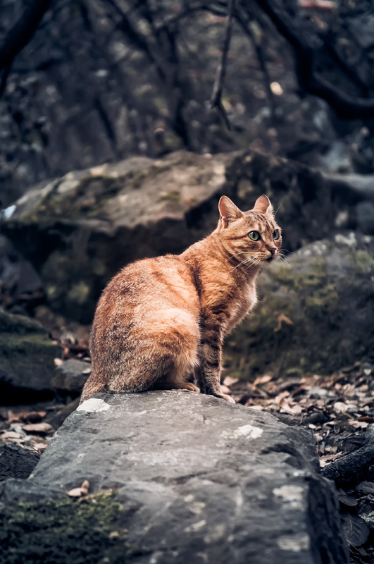 Wild cat in a forest - slon.pics - free stock photos and illustrations