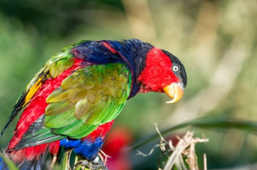 Black-capped lory - slon.pics - free stock photos and illustrations