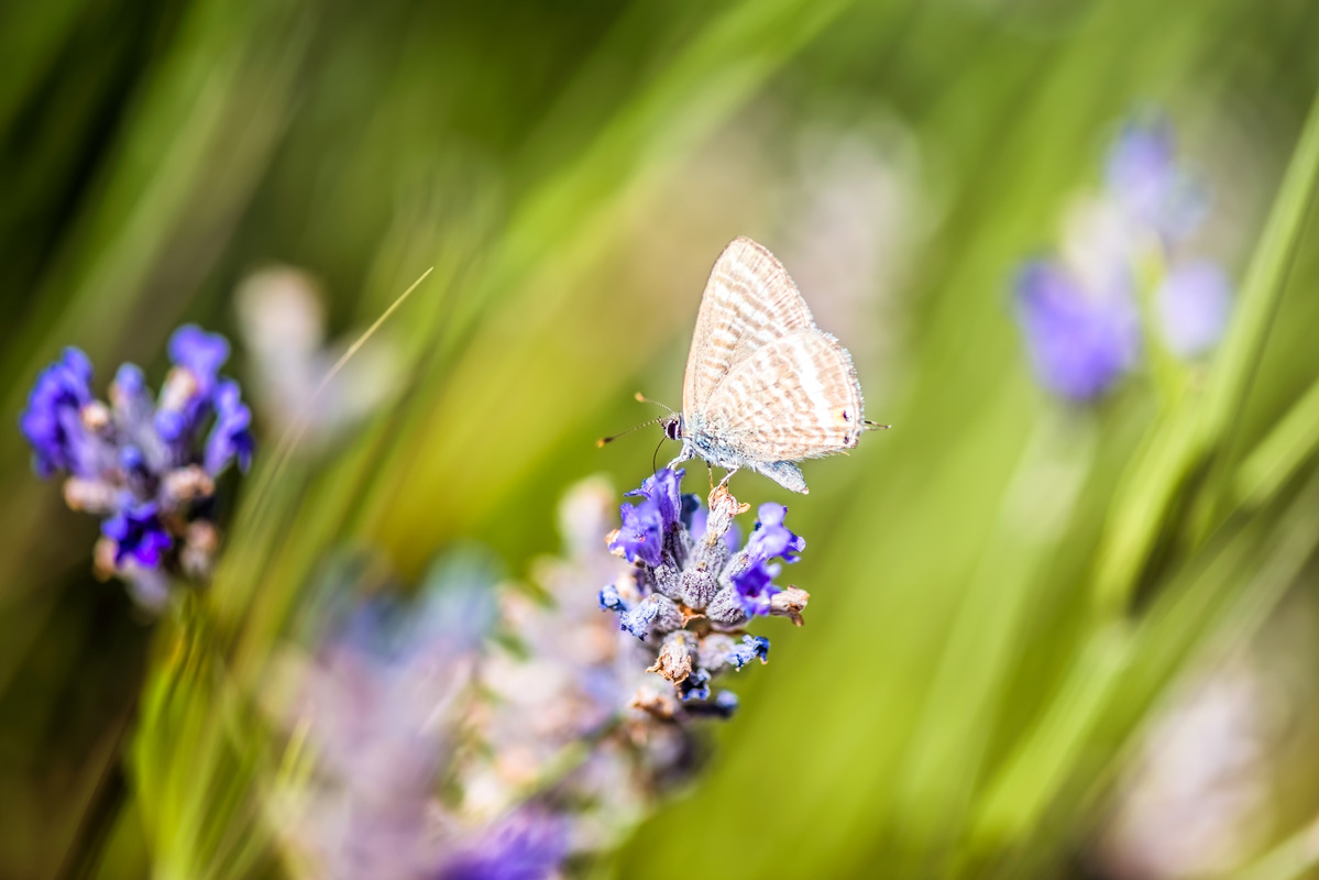 Butterfly amongst Lavender flowers and stalks - slon.pics - free stock photos and illustrations