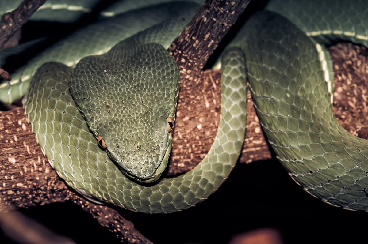 Venomous green viper - slon.pics - free stock photos and illustrations