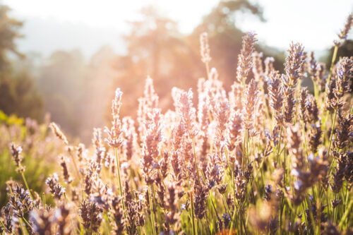 Lavender bush in the early morning light - slon.pics - free stock photos and illustrations