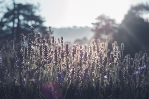 Lavender in sunset - slon.pics - free stock photos and illustrations