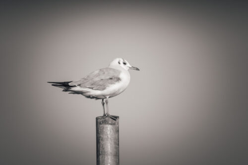 Seagull - slon.pics - free stock photos and illustrations