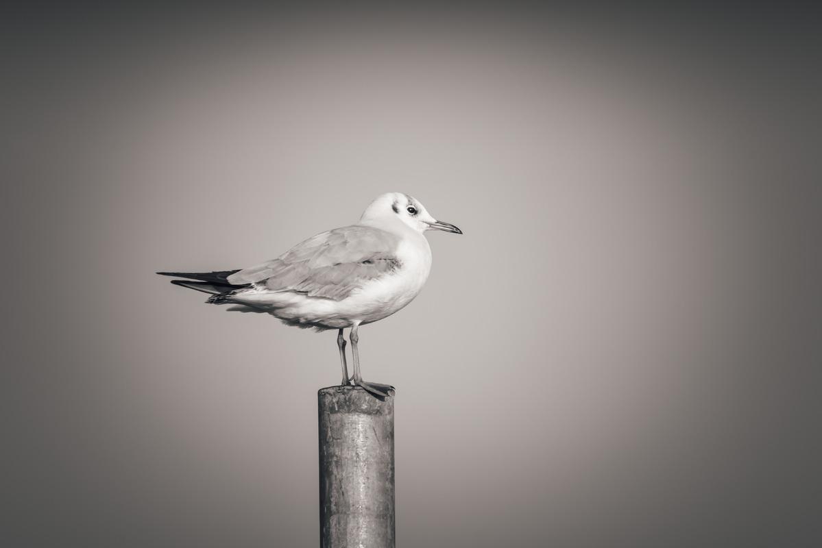 Seagull - slon.pics - free stock photos and illustrations