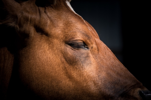 Head of The Cyprus Cow (Bos primigenius taurus) - slon.pics - free stock photos and illustrations
