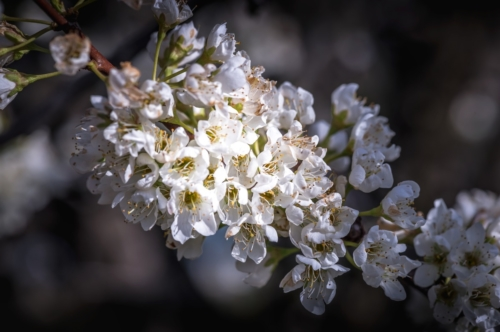 Branch of blossoming fruit tree - slon.pics - free stock photos and illustrations