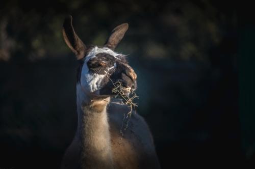 Chewing Llama - slon.pics - free stock photos and illustrations