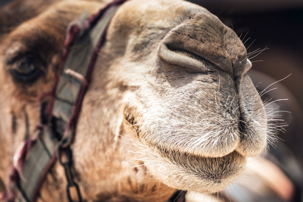 Close up of a Camel's face - slon.pics - free stock photos and illustrations