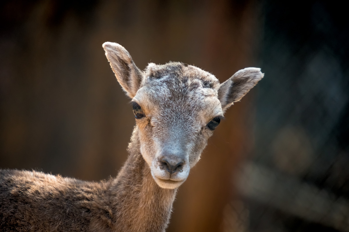 Mouflon ewe portrait - slon.pics - free stock photos and illustrations