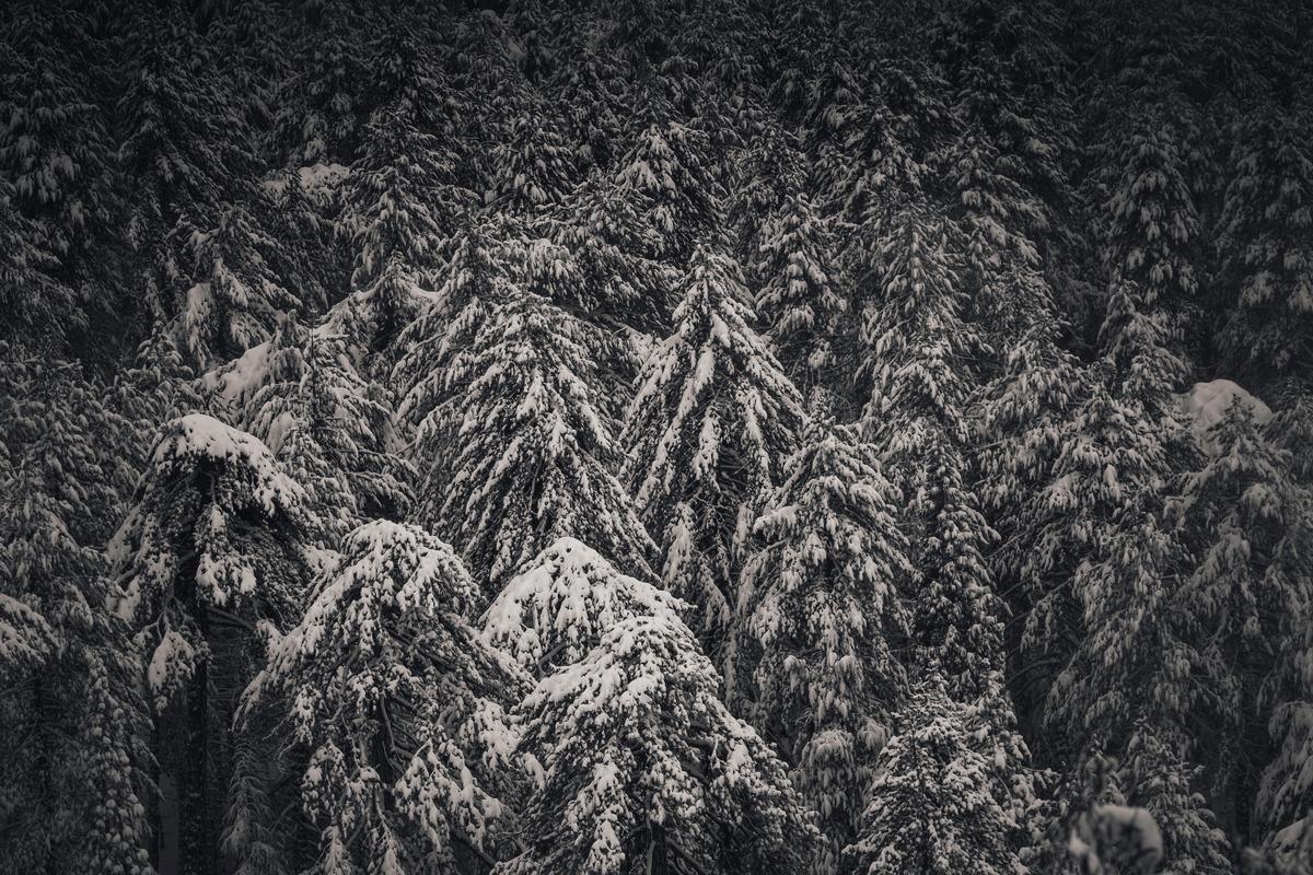 Winter Pine Trees - slon.pics - free stock photos and illustrations