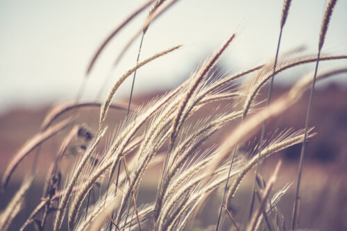 Wheat ear steams in natural backlit light - slon.pics - free stock photos and illustrations