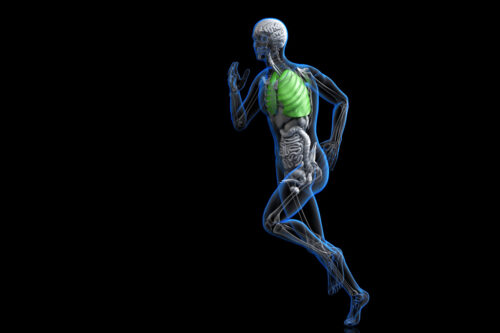 Athlete with highlighted lungs. 3D illustration. Contains clipping path - slon.pics - free stock photos and illustrations