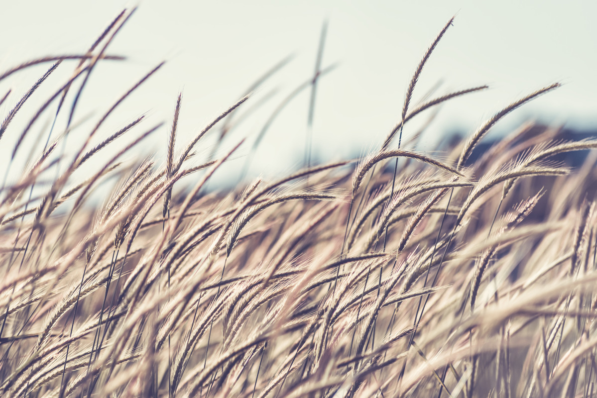 Field of Rye - slon.pics - free stock photos and illustrations