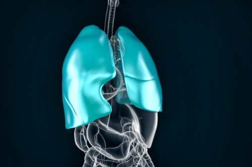 Healthy human lungs. Anatomical illustration - slon.pics - free stock photos and illustrations