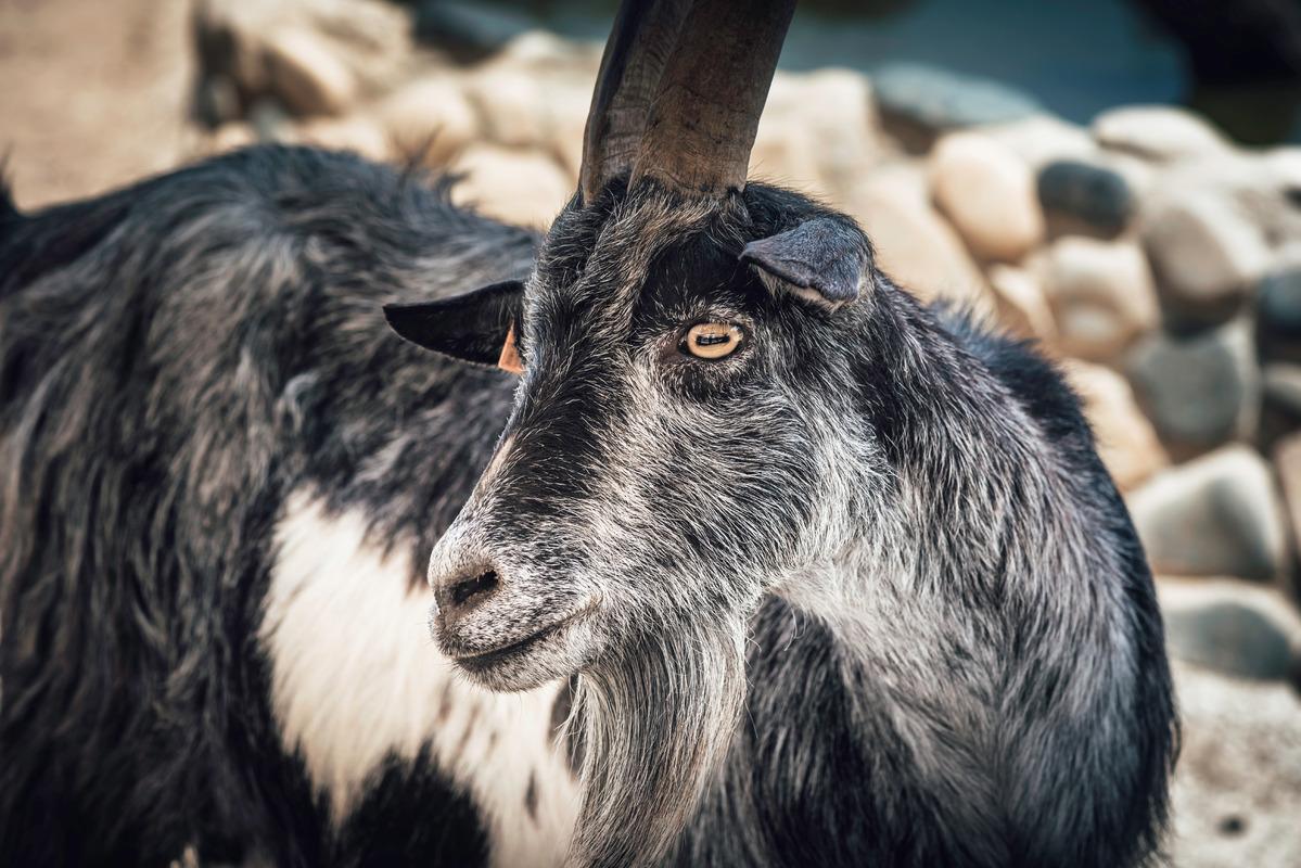 Portrait of cute black goat - slon.pics - free stock photos and illustrations