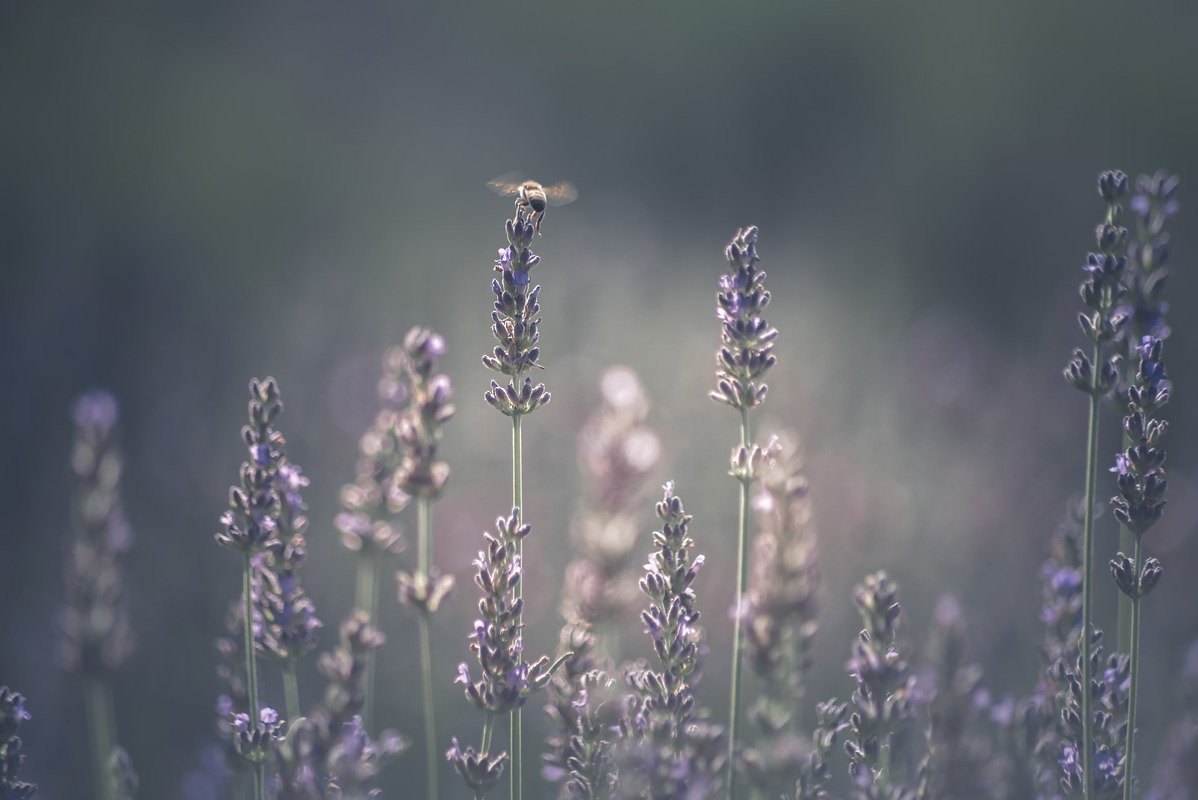 Bee perching on lavender - slon.pics - free stock photos and illustrations
