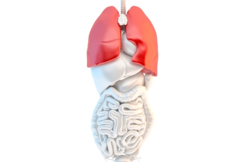 Full length view of human male internal organs with highlited lungs - slon.pics - free stock photos and illustrations