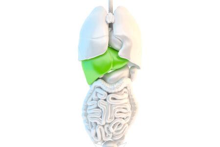 Healthy human liver - slon.pics - free stock photos and illustrations