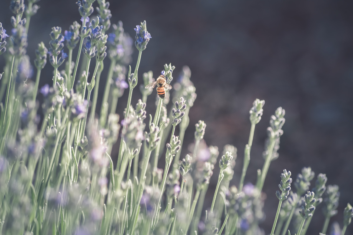 Honeybee on Lavender flower - slon.pics - free stock photos and illustrations