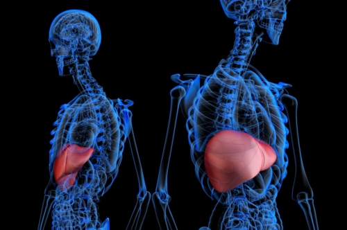 Human male anatomy with highlited liver - slon.pics - free stock photos and illustrations