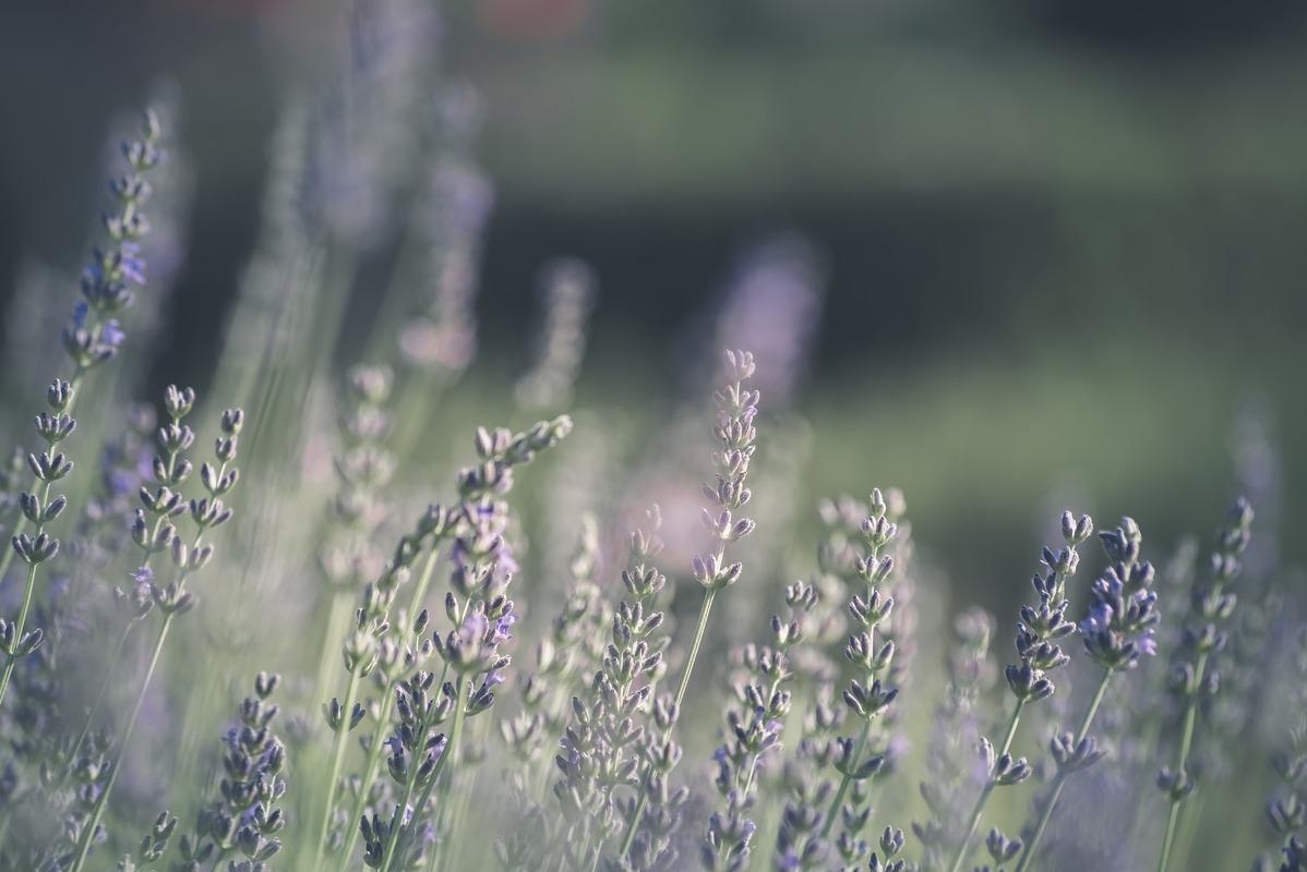 Lavender bush close-up - slon.pics - free stock photos and illustrations