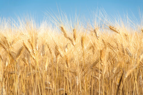 Yellow wheat backdrop - slon.pics - free stock photos and illustrations