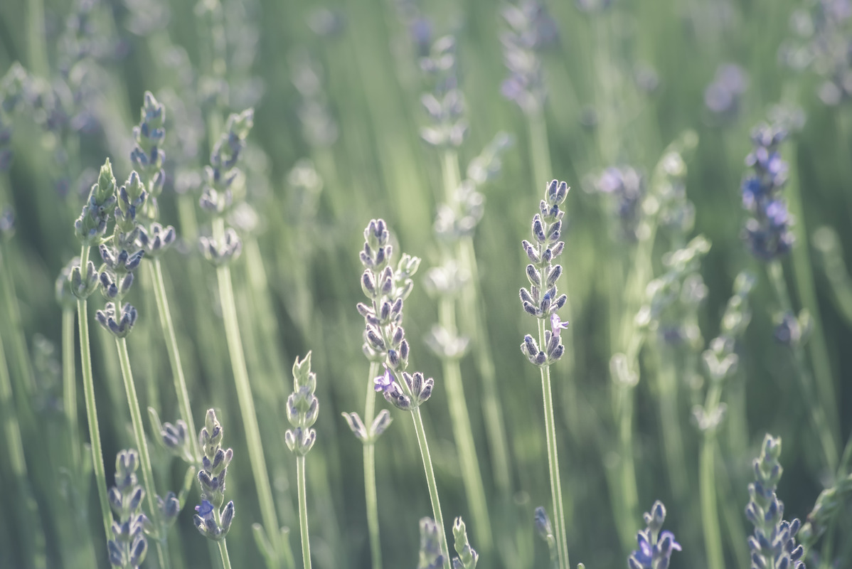 Blurry lavender field - slon.pics - free stock photos and illustrations