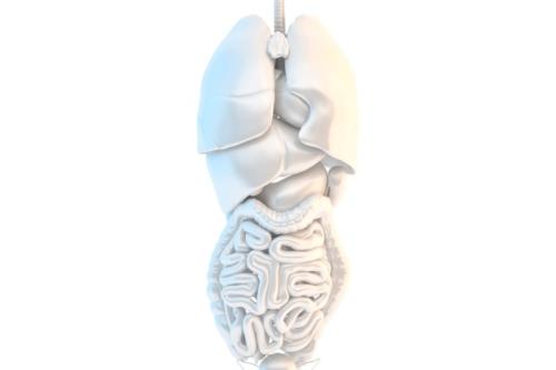 Human internal organs - slon.pics - free stock photos and illustrations