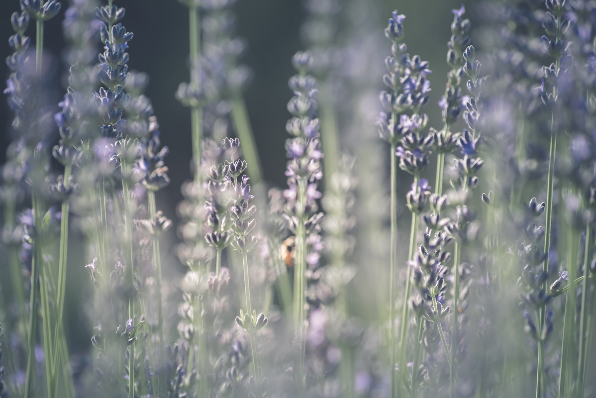 Lavender flowers - slon.pics - free stock photos and illustrations