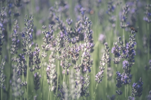 Lavender flowers with bees - slon.pics - free stock photos and illustrations