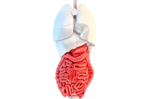Full length view of human internal organs with highlited digestive system - slon.pics - free stock photos and illustrations