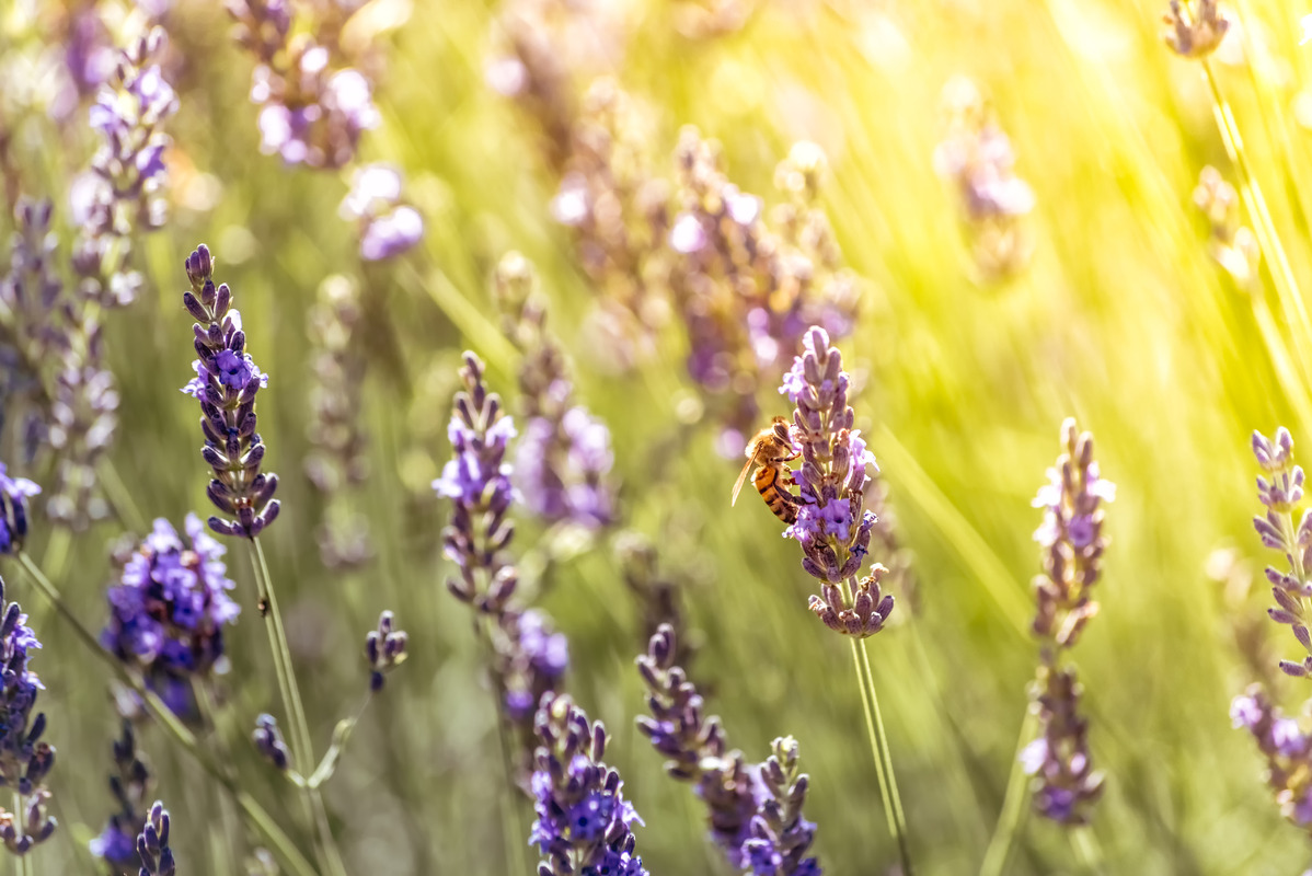 Bee pollinating while looking for nectar on purple flowers of lavender - slon.pics - free stock photos and illustrations