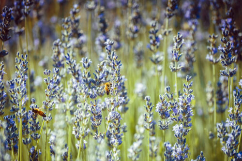 Bees collecting pollen from lavender flowers - slon.pics - free stock photos and illustrations