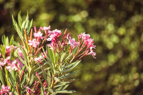Blooming oleander - slon.pics - free stock photos and illustrations