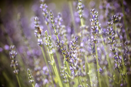 Branches of flowering lavender - slon.pics - free stock photos and illustrations