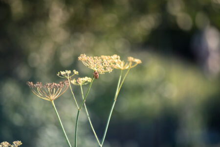 Close-up of fennel flowers - slon.pics - free stock photos and illustrations